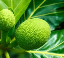 Food Trend: Breadfruit is the New Superfood