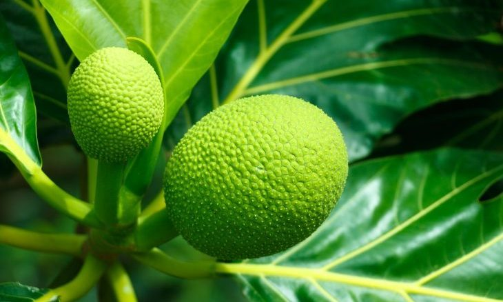 Cupid's Pulse Article: Food Trend: Breadfruit is the New Superfood